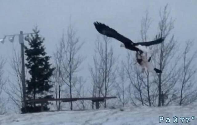 Орёл лишил американскую семью домашнего питомца и улетел, сжав в когтях кошку. (Видео)