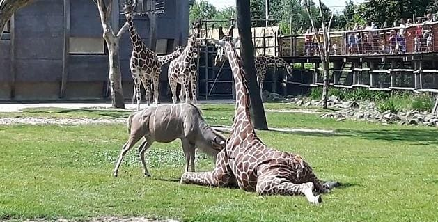 Антилопа забодала жирафа в голандском зоопарке . (Видно)