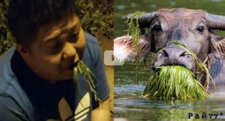 Пьяный китайский автомобилист принялся есть траву, чтобы доказать свою вменяемость. (Видео)