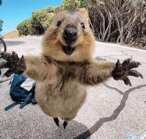Селфи с самой счастливой квоккой в мире сделал американский турист в Австралии.