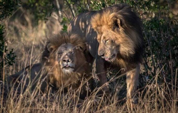 Кенийский политик требует изолировать двух львов, сменивших ориентацию в заповеднике Масаи-Мара.