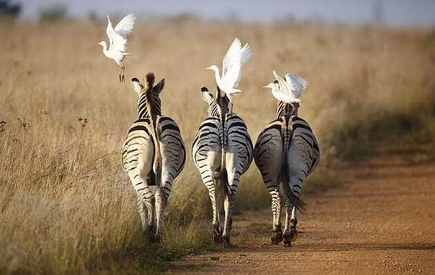 Цапли прокатились на зебрах в южноафриканском заповеднике.
