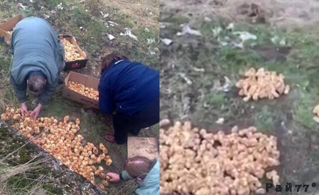 Тысячу брошенных цыплят случайно обнаружили в поле, в Британии. (Видео)
