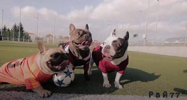 Бульдоги поиграли в футбол в преддверии матча между двумя чешскими сборными. (Видео)