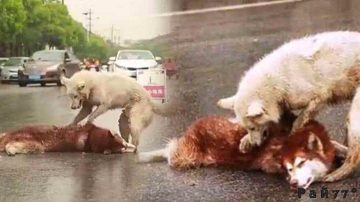 Собака попыталась реанимировать своего друга попавшего под машину на авто трассе в Китае. (Видео)