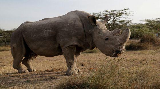 В Кении умер последний самец белого носорога