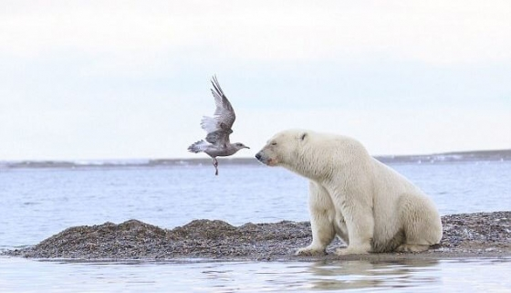 За секунду до: японский фотограф запечатлел атаку чайки на белого медведя на Аляске.