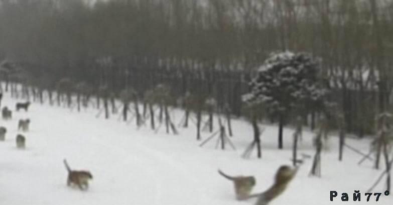 Амурские тигры поймали беспилотник в китайском заповеднике. (Видео)