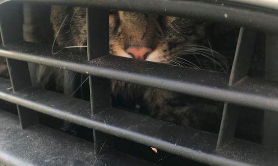 Кот, застрявший за решёткой радиатора автомобиля, совершил 120-километровое путешествие по Британии