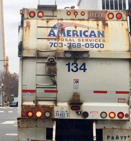 Фотография енота, сидящего на лестнице мусоровоза во время движения по автомагистрали в окрестности Росслин (штат Вирджиния), стала популярной в интернете.