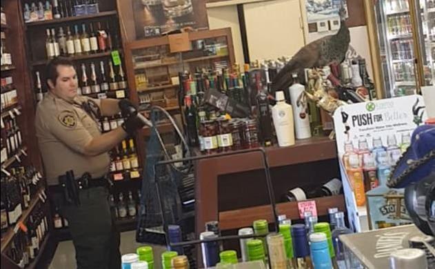 Павлин вызвал хаос в винном магазине, в США. (Видео)