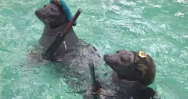 Британские СМИ поверили в боевых, иркутских тюленей
