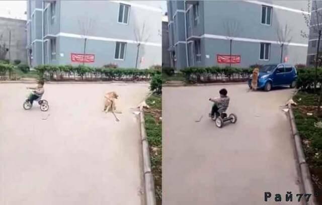 Умная собака преградила дорогу автомобилю перед маленьким велосипедистом. (Видео)