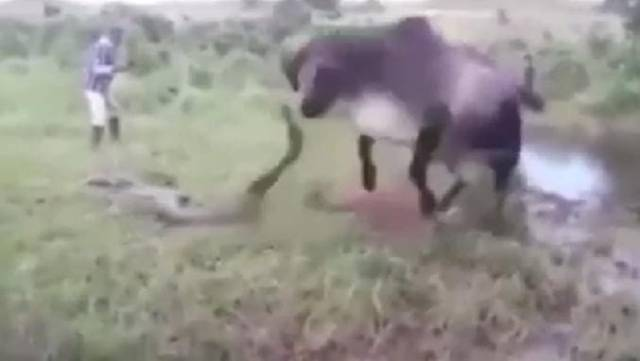Разъярённая корова напала на анаконду, убившую её телёнка в Бразилии. (Видео)