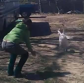 Пернатый друг показал настоящую, собачью преданность своей хозяйке. (Видео)