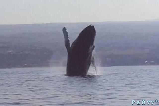 Горбатый кит поприветствовал байдарочников у берегов Гавайских островов. (Видео)