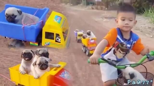 Видео ролик с маленьким мальчиком на велосипеде, взявшим «на буксир» пятерых мопсов бьёт рекорды просмотров в интернете.