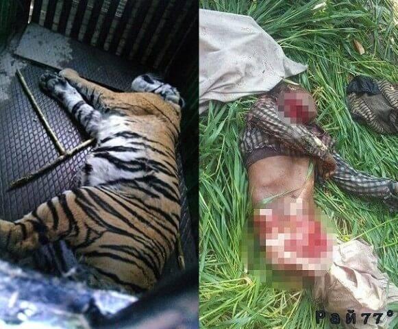 В Индии поймали тигра - людоеда, убившего шесть человек.