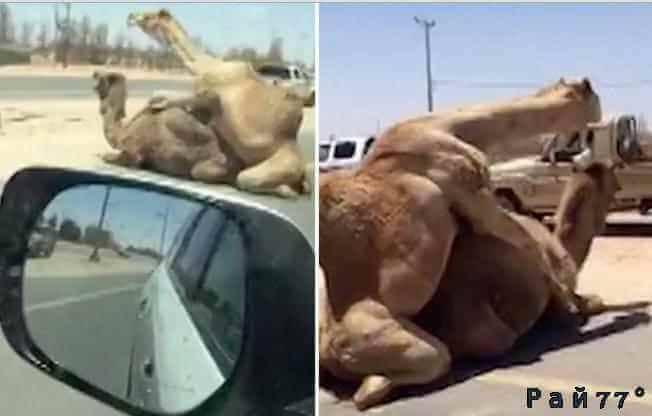 Два «любвеобильных» верблюда перекрыли движение на автотрассе в Дубае. (Видео)