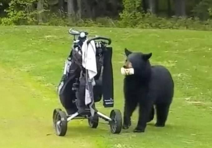 Медведь ограбил гольфистов на Аляске. (Видео)