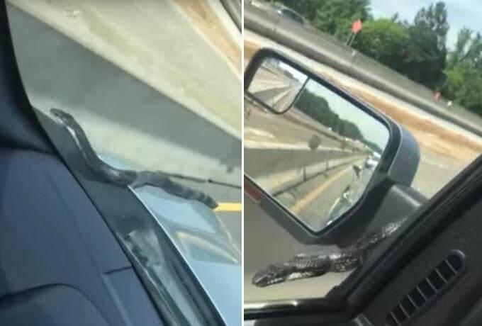 Необычный «попутчик» постучался в боковое окно движущегося автомобиля в США. (Видео)