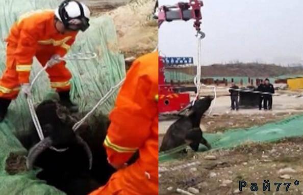 Китайские спасатели при помощи экскаватора вытащили застрявшего в яме быка. (Видео)