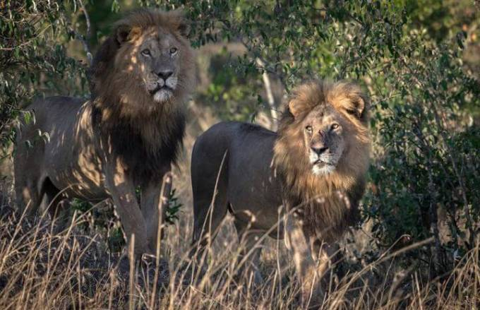 Кенийский политик требует изолировать двух львов, сменивших ориентацию в заповеднике Масаи-Мара