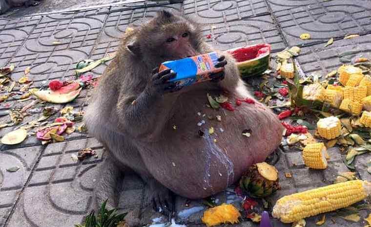 В Таиланде посадили на диету толстую обезьяну