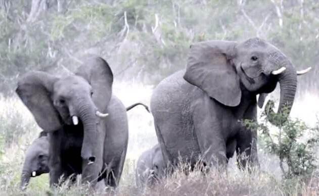 Стадо слонов было застигнуто врасплох роем пчёл в Национальном парке Крюгера, в Южной Африке. (Видео)