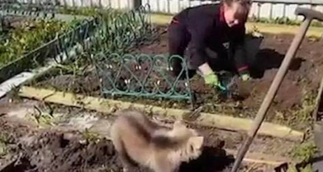 Медвежонок Сёма помог хозяйке посадить картошку. (Видео)
