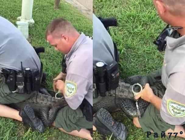Американские полицейские произвели образцово - показательный арест аллигатора, забравшегося в квартиру частного дома. (Видео)