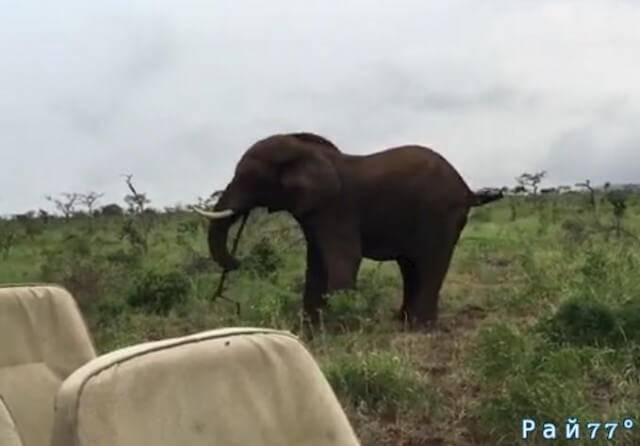 Слон показал кто хозяин и метнул палку в туристов, в африканском заповеднике.