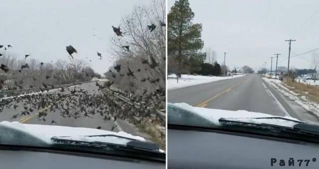 Автовладелица убила десятки птиц, въехав в пернатую стаю на мосту. (Видео)
