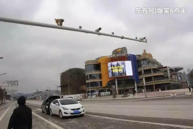 Краснозадая обезьяна стала виновницей ДТП на китайской магистрали.