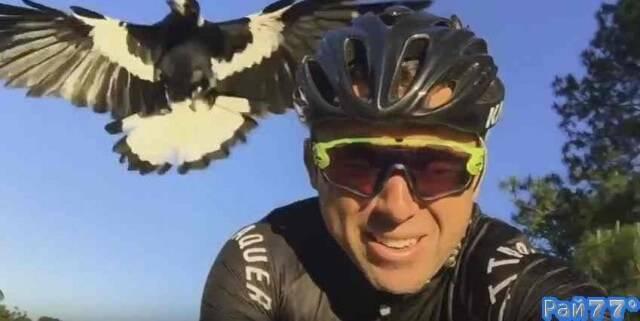 Сорока затерроризировала австралийского велосипедиста
