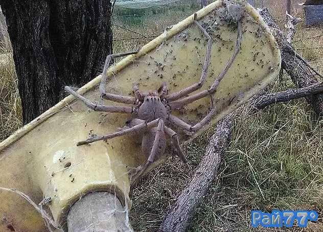 Гигантский паук найден в Австралии