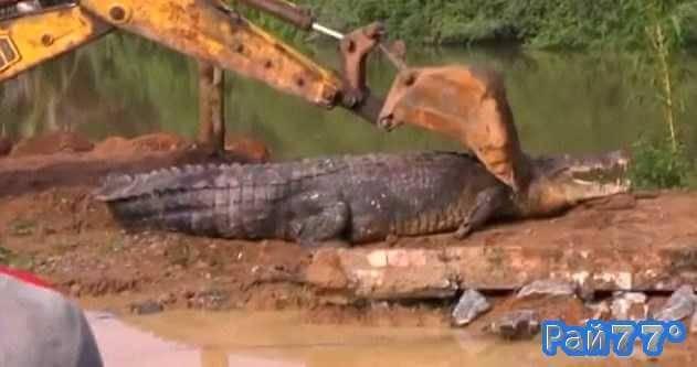 Гигантский крокодил застрял в затопленном канале, в Шри-ланке