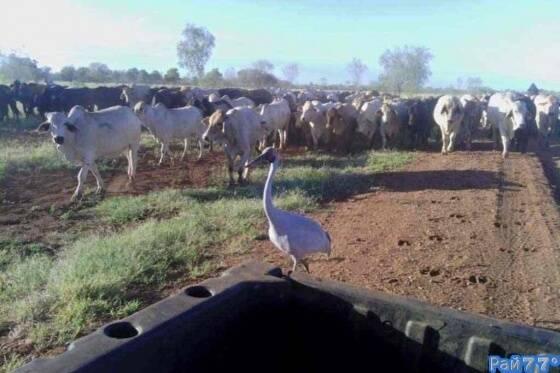 Журавль страдающий «кризисом идентичности» пасёт коров на ферме в Австралии (Видео)