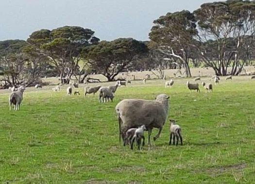 Рождение ягнёнка - мутанта, с двумя туловищами и одной головой, шокировало австралийского овцевода.