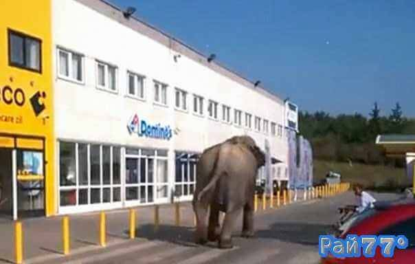 Румынские полицейские несколько часов разыскивали сбежавшего слона