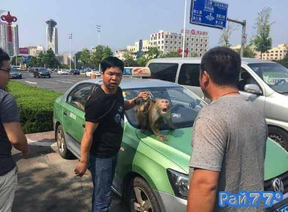 Мужчина с обезьяной был высажен из такси