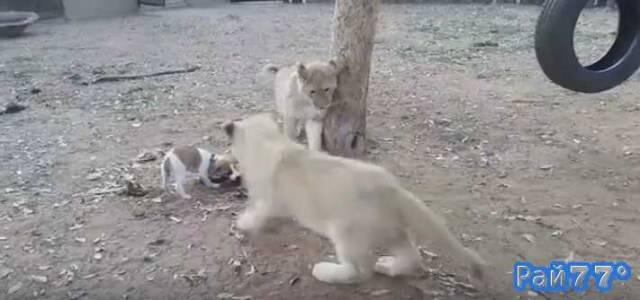 Собпка породы джек-рассел-терьер отбил кусок мяса у трёх львят