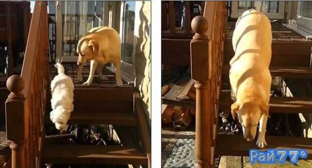 Лабрадор забыл, как спускаться по деревянной лестнице