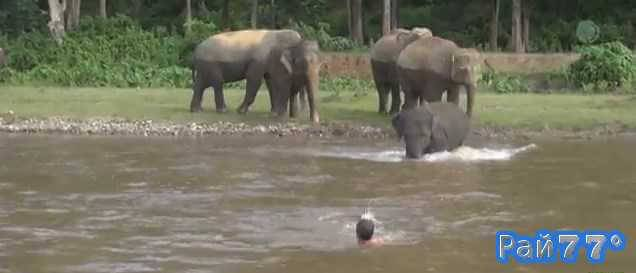 Слон спас тонущего смотрителя парка в Тайланде
