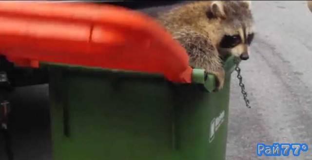 Операция по освобождению енота, застрявшего в крышке мусорного бачка в Торонто