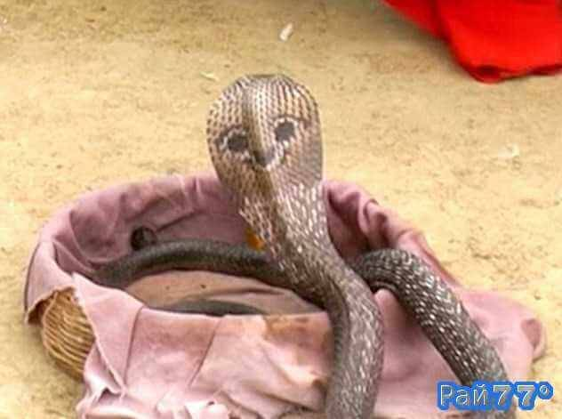 Искусство заклинания змей прививают самым маленьким жителям индийской деревни