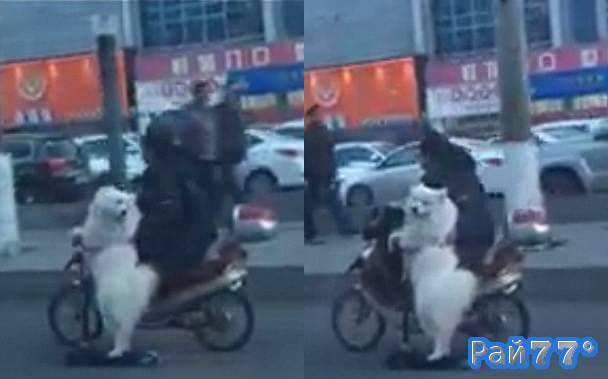 Собака на самокате разъезжает по оживлённой трассе в Китае. (Видео)