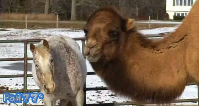 Слепой конь и верблюд проживают в американском зоопарке