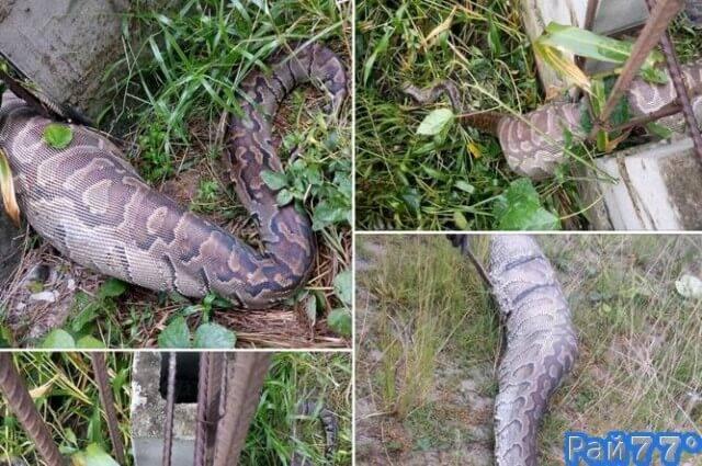Питон с собакой внутри погиб при попытке пролезть через забор в Нигерии. (Фото)