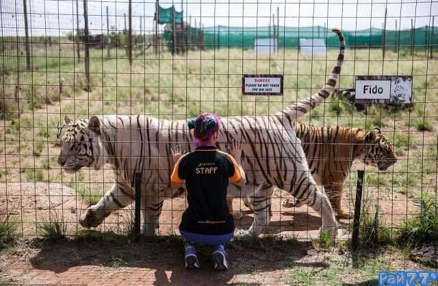 Южно - африканская пара продала роскошный дом, чтобы обеспечить питанием кошачий зверинец.(Видео)